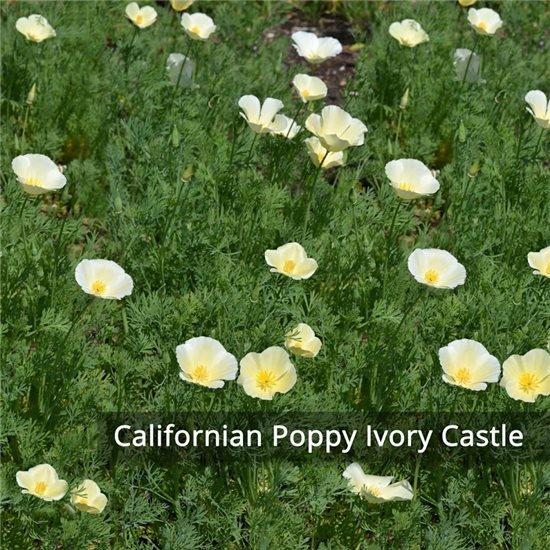 Californian Poppy Ivory Castle